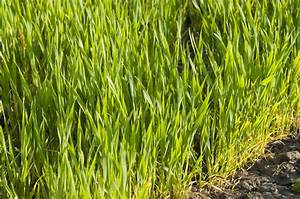 Wheat Growing Information  Tips On Caring For Backyard
