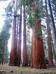 Giant Redwood Trees Sequoia National Park
