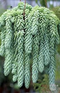 Plantes Grasses Extérieur : sedum morganianum bricolage deco pinterest jardins ~ Dallasstarsshop.com Idées de Décoration