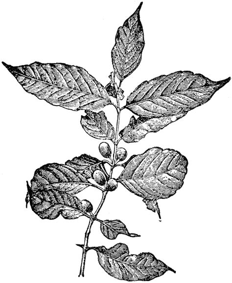 Download coffee seed images and photos. Coffea Arabica | ClipArt ETC