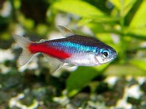 Amazing Fresh Water Fish NEON TETRA