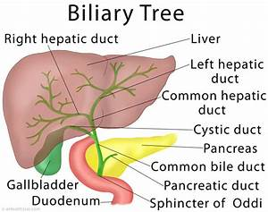 Biliary Tract Anatomy Related Keywords - Biliary Tract ...