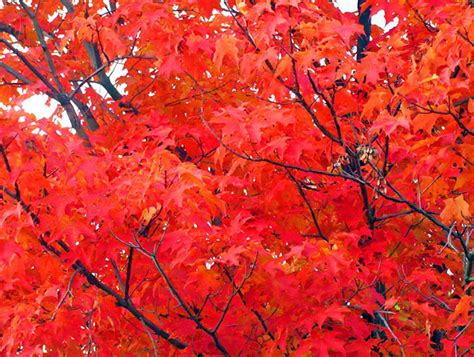 what tree leaves turn in fall why do some tree leaves turn red scistarter blog