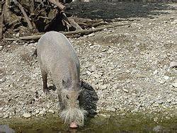 echte schweine wikipedia