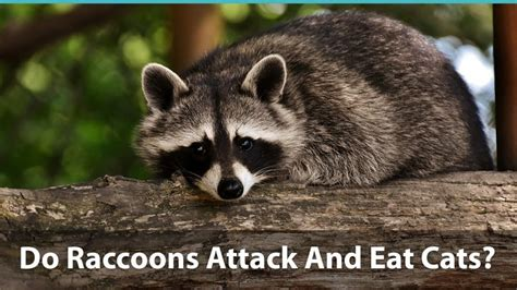 raccoons attack  eat cats     kitty safe