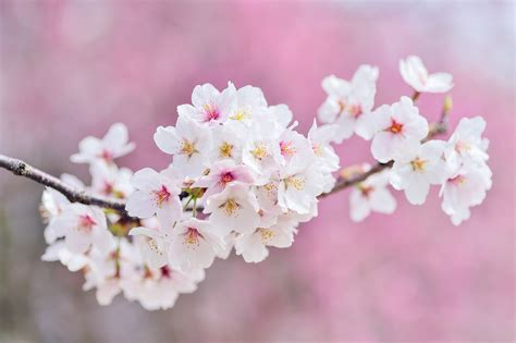 cherry blossom facts 100 cherry blossom facts how to get 300 real targeted instagram followers per day bath