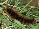 Picture of a hairy caterpillar