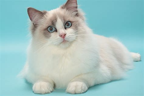 List Of Synonyms And Antonyms Of The Word Ragdoll Cat