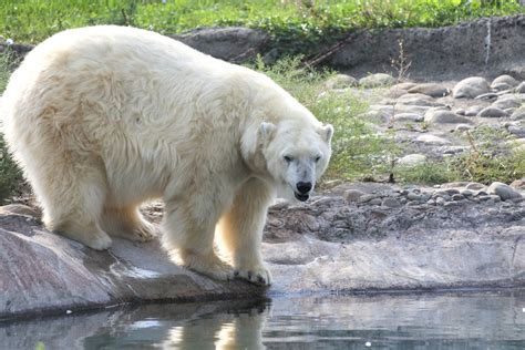 Polar bear - Detroit Zoo