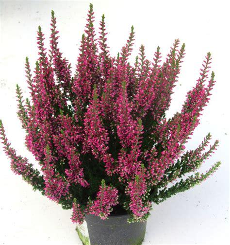 erika winterhart kaufen calluna vulgaris besenheide heidekraut rot 10 cm topf