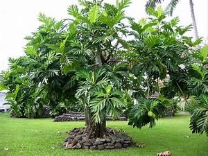 Arbre A Fruit : arbre fruit moorea 39 s dream ~ Melissatoandfro.com Idées de Décoration