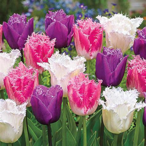 tulip flower bulbs garden plants flowers  home