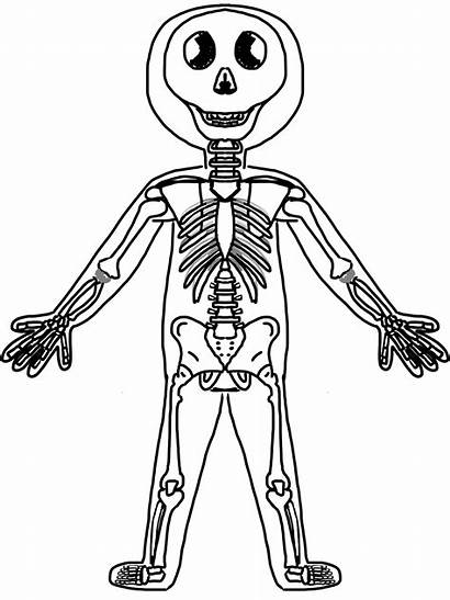 Human Clipart Skeleton System Skeletal Clip Drawing