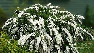 Bridal Wreath Spirea - White Flowers - Florist Photograph