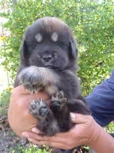Tibetan Mastiff Lion Dog Puppies