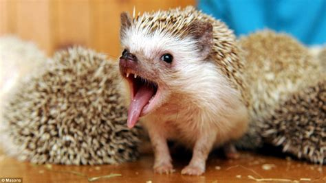 pygmy hedgehog 24 pygmy hedgehogs adopted by animal lover daily mail online