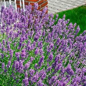 Herbstblumen Garten Winterhart : lavendel hecke von baldur garten auf kaufen ~ Frokenaadalensverden.com Haus und Dekorationen