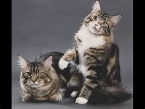 Domestic Cat Maine Coon Silver - Salon des Refusés  Domestic