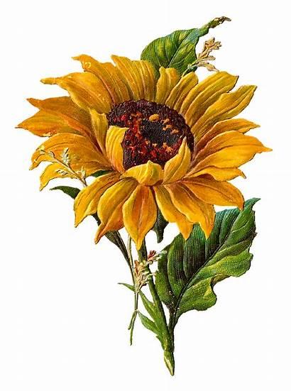 Sunflower Clip Botanical Artwork Flower Clipart Drawing