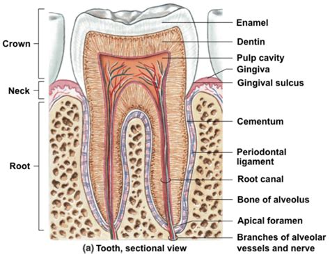 Tooth Bone Diagram by Root Canals Treatment Alternatives