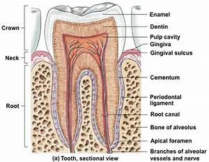 Root Canals  Treatment  U0026 Alternatives