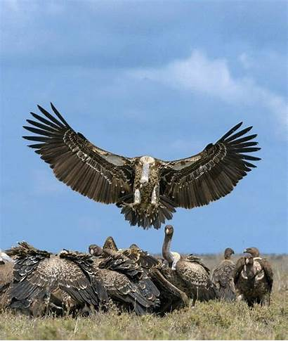 Animales Poder Aves Buitre Vulture