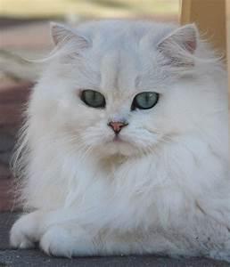 British Longhair Cat, Chinchilla | You gotta Love'em ...