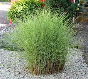 Gräser Als Sichtschutz : miscanthus sinensis morning light chinaschilf gr ser ~ Watch28wear.com Haus und Dekorationen