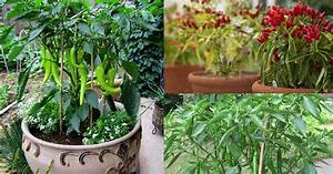 Growing Hot Peppers In Containers