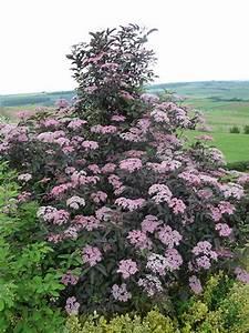 Holunder Black Beauty Essbar : sambucus nigra 39 black lace 39 rotbl ttriger schlitz ~ Michelbontemps.com Haus und Dekorationen