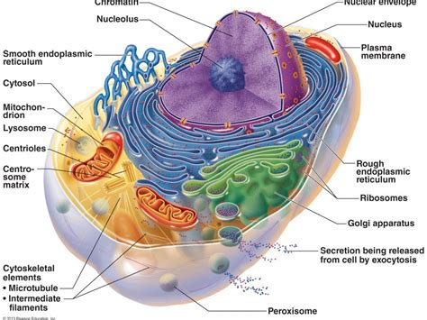 Diagram Part Of A Cell by Biology As And A2 Syllabus Revision Notes By Mollybuckwald