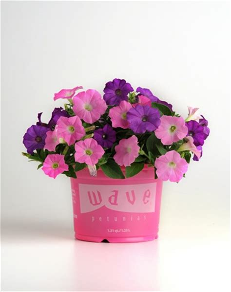 wave petunias in pots new spring wave petunia medleys fundraiser plants for profits