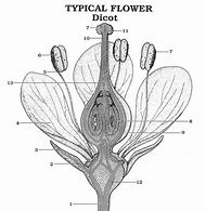 Best 25 ideas about flower labels find what youll love typical dicot flower diagram ccuart