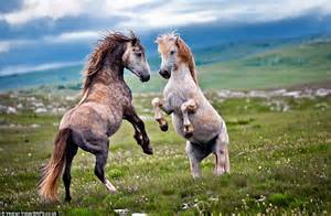 horses fighting legs hind mating stallion battle horse stallions stand boxers ready hooves wild fight mares mustangs blows throw each