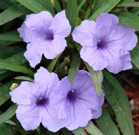 tanaman rolia ungu