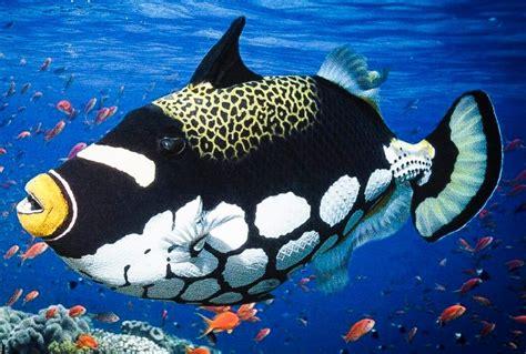 ciclo de vida del pez ballesta payaso imagenes  fotos