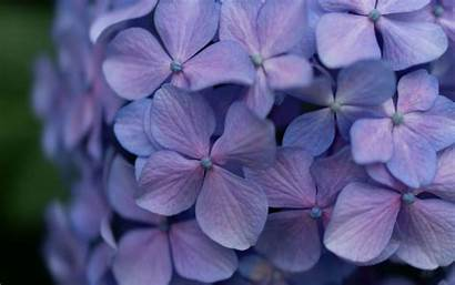 Lilac Flowers Inflorescence Flowering 4k Background Plant