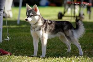 """Alaskan Klee Kai- A """"Toy"""" sized husky! This guy is just 8 ..."""
