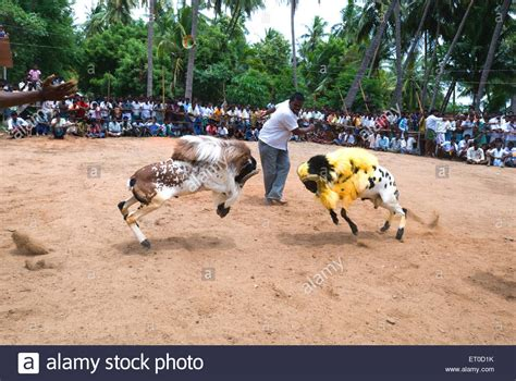 fighting in tamilnadu caleidoscope fighting goats kidaai muttu madurai tamil nadu india