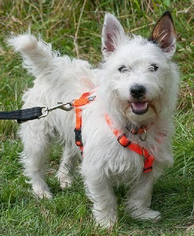 West Highland Terrier Mix Welpen Kaufen