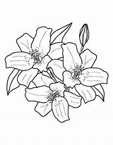 Lily Coloring Pages Flower Stargazer Printable Colouring Flowers Drawing Printables Getcolorings Museprintables Draw Magnificent Visit Pdf Drawings sketch template