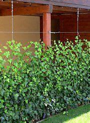 immergrüne bepflanzungen am gartenzaun pergola mit sichtschutz aus efeu garden havei