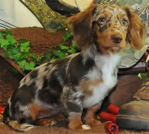 What Dogs Do Not Shed Hair by Dachshund Wire Haired Dachshund Long Haired Dachshund