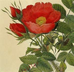 Large Images of Redoute Roses