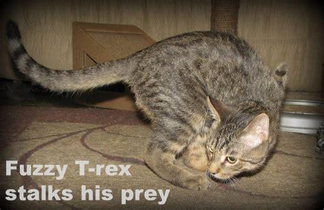 daaaaaaaw  legged cat walks    rex geekologie