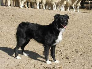 Australian Shephard :: North Bay Canine Rescue & Placement