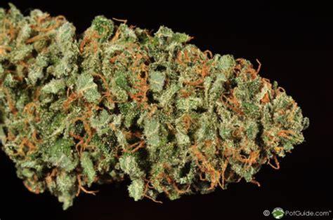 white rhino marijuana strain library potguide com