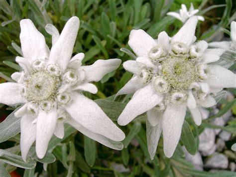 Gugur Kandungan 120 Manfaat Dan Khasiat Bunga Abadi Edelweis Untuk