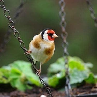 Gabbia Cardellino Cardellino Uccelli Autoctoni Caratteristiche