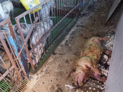 cruel  pigs farmers    victims